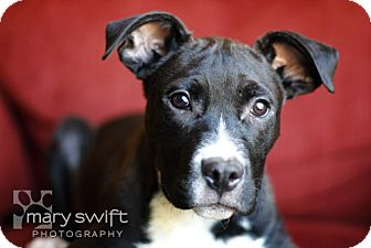 American Pit Bull Terrier Mix Puppy for adoption in Clarksburg, Maryland - Biscuit