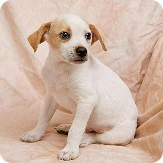 Beagle Mix Puppy for adoption in Anna, Illinois - SATCHEL