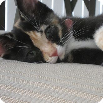 Domestic Shorthair Kitten for adoption in Toronto, Ontario - Callie