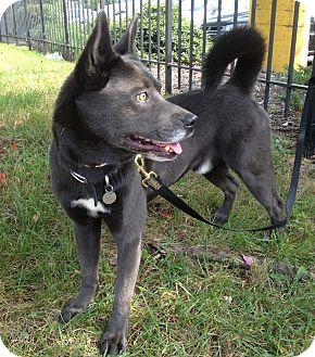 Husky/Labrador Retriever Mix Dog for adoption in Richmond, Virginia - Dracula