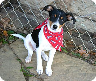 Rat Terrier Dog for adoption in Muldrow, Oklahoma - Candi