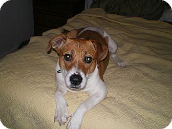 Hound (Unknown Type)/Pointer Mix Dog for adoption in Apex, North Carolina - Jilly