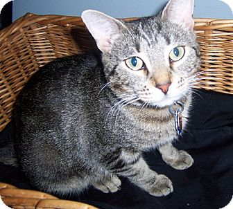 Domestic Shorthair Cat for adoption in Owatonna, Minnesota - Charlotte