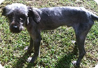 Poodle (Miniature)/Schnauzer (Miniature) Mix Dog for adoption in Smyrna, Georgia - MOTLEY