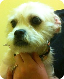 Yorkie, Yorkshire Terrier/Westie, West Highland White Terrier Mix Dog for adoption in Oswego, Illinois - Lily