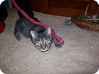 Domestic Shorthair Cat for adoption in Piscataway, New Jersey - Loverboy