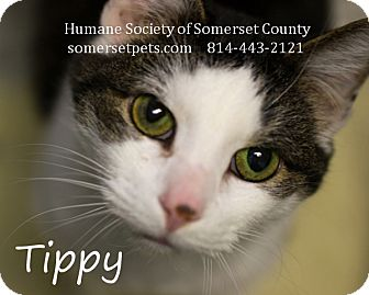 Domestic Shorthair Cat for adoption in Somerset, Pennsylvania - Tippy