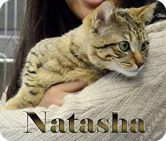 Bengal Kitten for adoption in Pittstown, New Jersey - Natasha