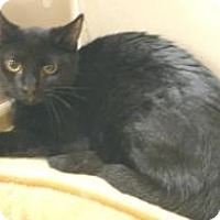 Domestic Shorthair Cat for adoption in Miami, Florida - Victor