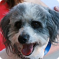 Cockapoo Mix Dog for adoption in Palmdale, California - Barney