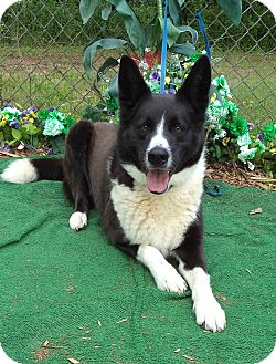 German Shepherd Dog/Border Collie Mix Dog for adoption in Marietta, Georgia - POLO