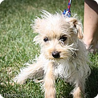 Adopt A Pet :: Rags - Broomfield, CO