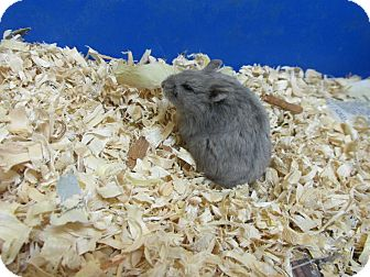 Hamster for adoption in Benbrook, Texas - Mandy