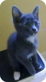 Domestic Shorthair Kitten for adoption in Gainesville, Florida - Portia