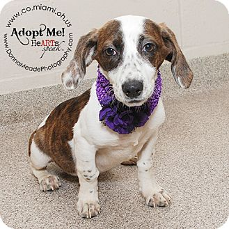 Jack Russell Terrier/Basset Hound Mix Puppy for adoption in Troy, Ohio - Nikki
