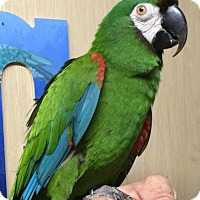 Adopt A Pet :: Skully - Woodbridge, NJ