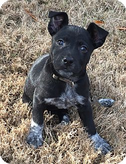 Blue Heeler/Labrador Retriever Mix Puppy for adoption in Glastonbury, Connecticut - Maggie