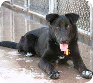 Labrador Retriever/Border Collie Mix Dog for adoption in Scottsdale, Arizona - Angelica