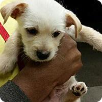 Adopt A Pet :: Royce - Phoenix, AZ