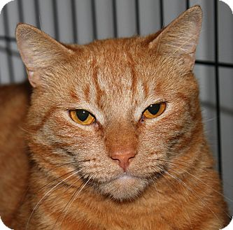 Domestic Shorthair Cat for adoption in North Branford, Connecticut - Peyton