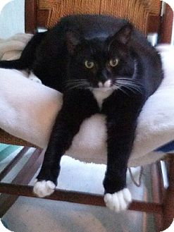 Domestic Shorthair Cat for adoption in Morgantown, West Virginia - Tippy