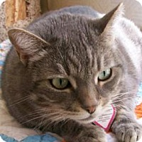 Domestic Shorthair Cat for adoption in Mountain Center, California - Bayley