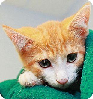 Domestic Shorthair Kitten for adoption in Staunton, Virginia - Captain