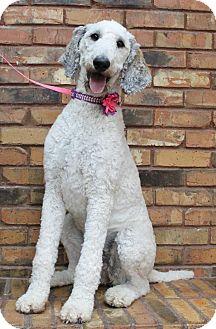 Standard Poodle Dog for adoption in Benbrook, Texas - Mavis