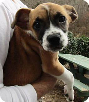 Boxer Mix Dog for adoption in Marble, North Carolina - Oakley