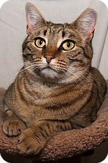 Bengal Cat for adoption in Waynesville, North Carolina - KK