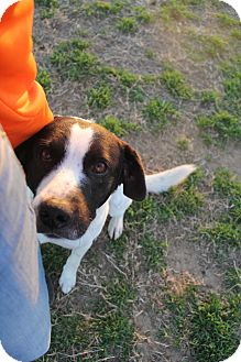 Border Collie/Pointer Mix Dog for adoption in Decatur, Texas - Baloo