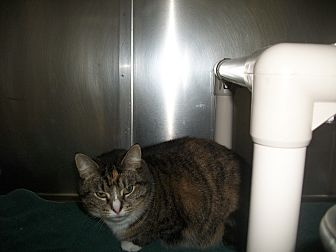 Domestic Shorthair Cat for adoption in Portland, Indiana - Kelly