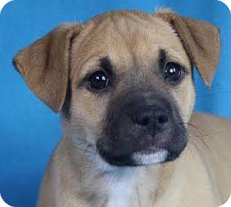 Retriever (Unknown Type) Mix Puppy for adoption in Minneapolis, Minnesota - Hazel
