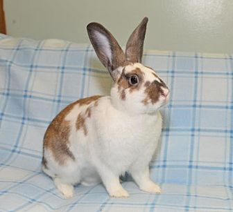 English Spot Mix for adoption in Chesterfield, Missouri - Finley