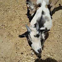 Adopt A Pet :: Magic - Palmdale, CA