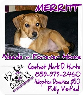 Shepherd (Unknown Type) Mix Puppy for adoption in Lancaster, Kentucky - MERRIT