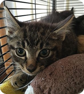 Domestic Shorthair Kitten for adoption in Wayne, New Jersey - Prudence