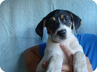 Border Collie/Australian Cattle Dog Mix Puppy for adoption in Oviedo, Florida - Saber