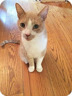 Domestic Shorthair Cat for adoption in Philadelphia, Pennsylvania - PUMA!