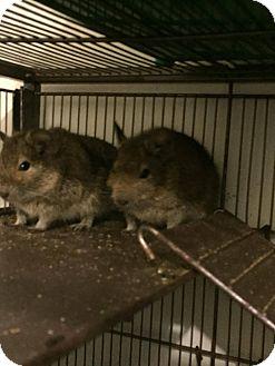 Degu for adoption in Flint, Michigan - 3 Males