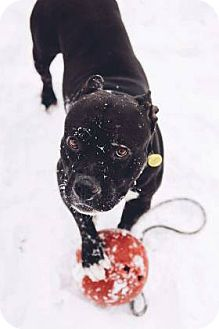 Terrier (Unknown Type, Medium)/American Pit Bull Terrier Mix Dog for adoption in Fulton, Missouri - Comet- Ohio