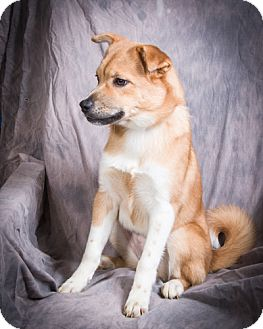 Collie/Akita Mix Puppy for adoption in Anna, Illinois - ALEXANDRIA