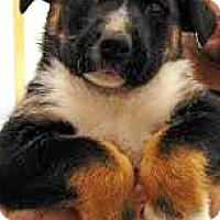 Adopt A Pet :: Lucca-ADOPTION PENDING - Boulder, CO