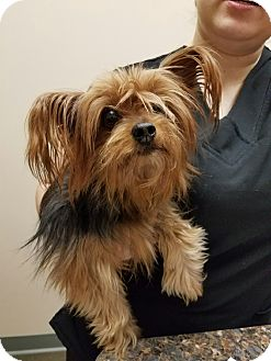 Yorkie, Yorkshire Terrier Dog for adoption in Minerva, Ohio - Lilly