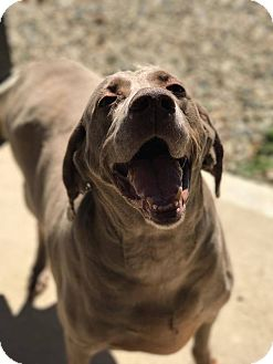 Weimaraner Dog for adoption in Marion, Indiana - Lucy Lue