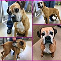 Adopt A Pet :: Dynasty - Austin, TX