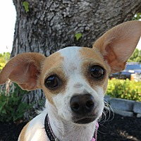 Chihuahua/Toy Fox Terrier Mix Dog for adoption in Vacaville, California - Sophia