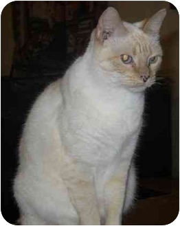 Domestic Shorthair Cat for adoption in Lyons, Texas - Laurie