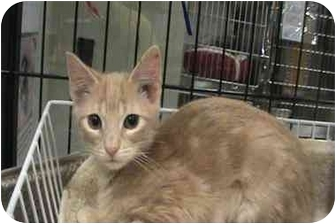 Domestic Shorthair Kitten for adoption in The Colony, Texas - Bryce