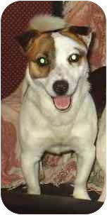 Jack Russell Terrier Dog for adoption in cedar grove, Indiana - Doodles